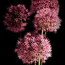 Ornamental Allium by karina5