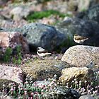 Northern Wheatear by Bluesrose