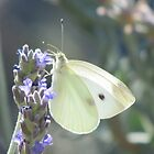 Butterfly on Lavender by HolidayMurcia