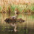 Nesting Sandhill Crane 1 by Thomas Young