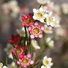 Myrtaceae chamelaucium axillare by kalaryder