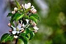 Backyard Apple Blossoms by Roger Passman