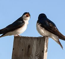 Arguing Tree Swallows by Eivor Kuchta