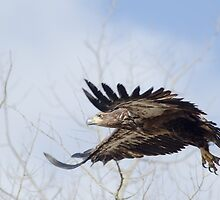 Eagle Wings by Lindarich