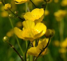 Buttercups by EJHPhotography