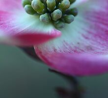 Dogwood Bloom by mikentn