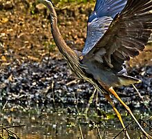 2014 May Great Blue Heron No 4 by Rick  Grisolano Photography LLC