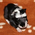 One of Four Baby Guinea Pigs by AnnDixon