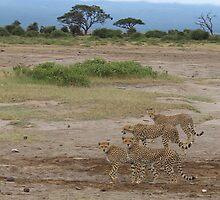 Cheetah, Amboseli National Park by Kirk Arts