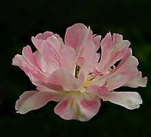 """Tulip """"Apple Blossom"""" by jacqi"""