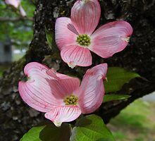 Pink Dogwood Blossoms by WildestArt