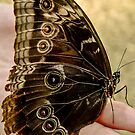 519 butterfly by pcfyi