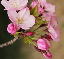 Cherry Blossoms: Pretty in Pink by Alison Hindenlang