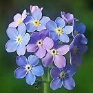 Bunch of Forget-me-knots by relayer51