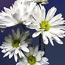 Cascade of White Daisies by Susan Savad
