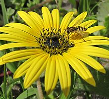 Beautiful yellow daisy with a visitor by Lee Jones