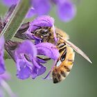 Honey Bee on Salvia Flower by Sheryl Hopkins