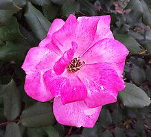 Pink Rose in a Black Forest by Scott Mitchell