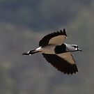 Southern Lapwing by Dennis Cheeseman