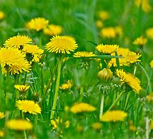Dandelion 2 by Carolyn Clark