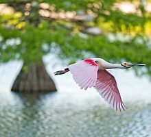 Roseate Spoonbill Flying over Cypress Lake by Bonnie T.  Barry