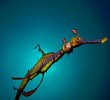 Weedy Sea Dragon by njmpm