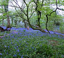 Bluebell Wood by AnnDixon