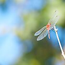 Red Dragonfly on a Branch by lindsycarranza