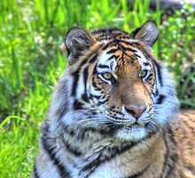 Amur Tiger by Jimmy Ostgard