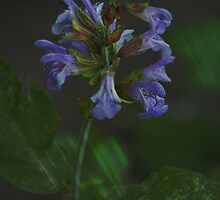 Flowering Sage by walstraasart