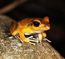 Stony Creek Frog - ( Litoria lesueuri  ) male  - Clifton Beach FNQ by john  Lenagan