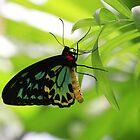 Cairns Birdwing male- (Ornithoptera priamus) Cooper Creek Daintree NP   by john  Lenagan