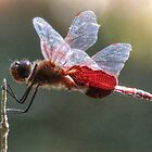 Red Dragonfly 2014 by ChuckBuckner