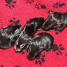 Baby Guinea Pigs by AnnDixon