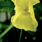 Welsh Poppy by Colin Metcalf