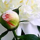 Peony Bloom by ctheworld