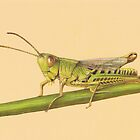 Grasshopper by LFurtwaengler