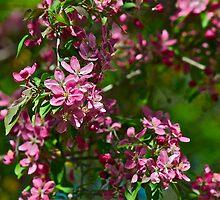 Pink Crabapple 11 by Carolyn Clark