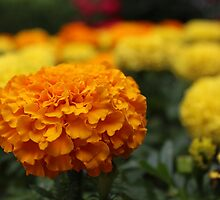 Marvelous Marigolds by aprilann
