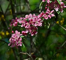 Pink Crabapple 13 by Carolyn Clark