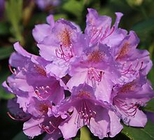 Rhododendron Blossoms by karina5
