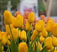 Yellow tulips at the RHS Chelsea Flower Show by Keith Larby