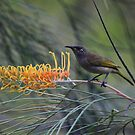 Yellow Spotted Honeyeater-  on Grevillea - Atherton Tableland by john  Lenagan