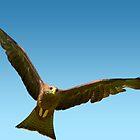 Yellow Billed Kite in Flight by imagetj