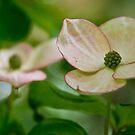 Kousa Dogwood pink 2  by KSKphotography