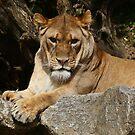 A proud lioness by annalisa bianchetti
