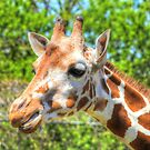 Giraffe by Jimmy Ostgard