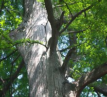OLD CYPRESS TREE by Pauline Evans