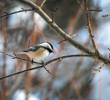 Black-capped Chickadee III by PhotosByHealy