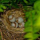 Junco nest in Boston Fern  by KSKphotography